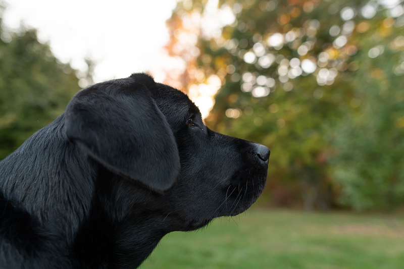 Black Lab in profile, lifestyle dog photography | ©Jess Sinatra Photography
