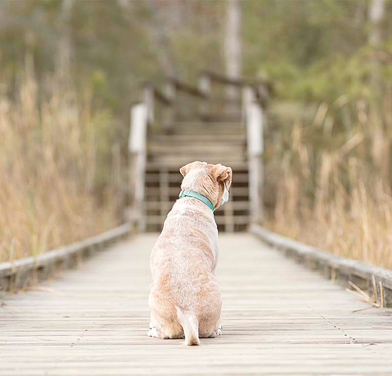 Beagle mix sitting on boardwalk facing away from photographer, ©Sweet Ellie Photography | Williamsburg, VA