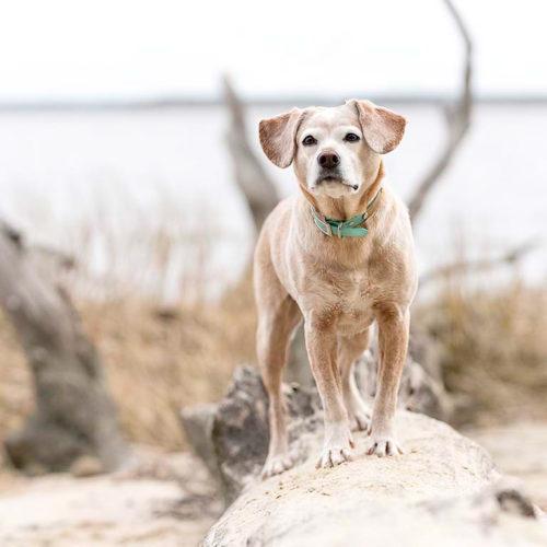 Happy Tails:  Ellie the Beagle Mix | Williamsburg, VA