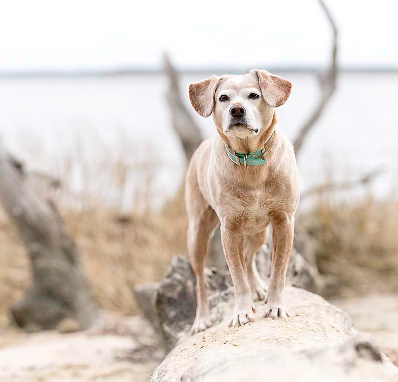 dog on driftwood, on location dog photography | ©Sweet Ellie Photography | Williamsburg, VA