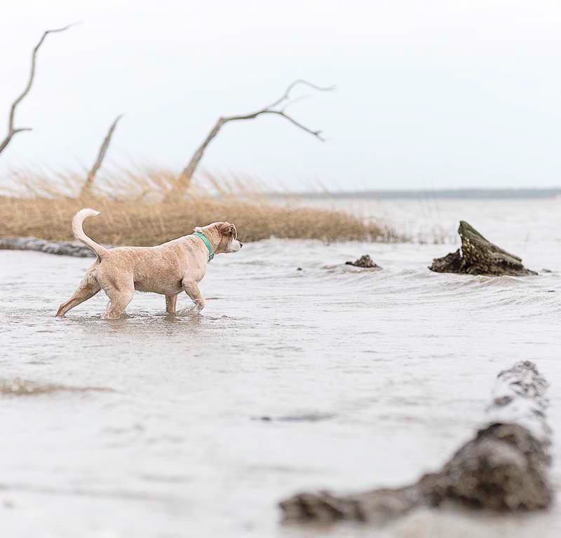 dog wading in River State Park, Virginia | ©Sweet Ellie Photography