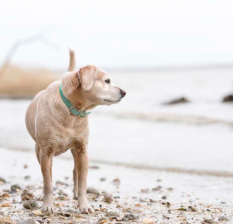 wet dog on beach, dog photography ©Sweet Ellie Photography | Williamsburg, VA