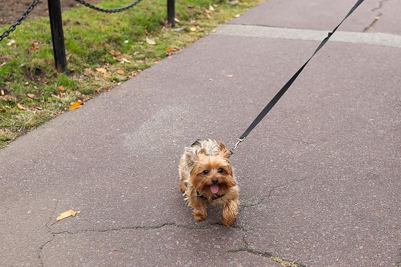 Yorkshire Terrier on a leash, Pet-portraits | ©Jess Sinatra Photography