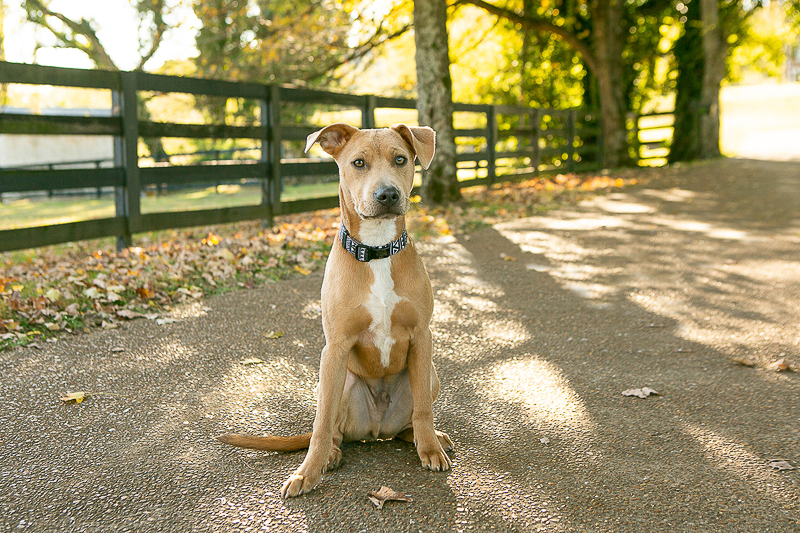 handsome mixed breed on path, ©Mandy Whitley Photography | lifestyle dog photography, Brentwood, TennesseeTN
