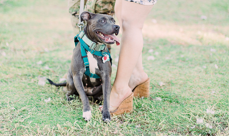blue nose pit bull wearing teal harness, engagement photos with a dog | ©Fig + Willow Studios