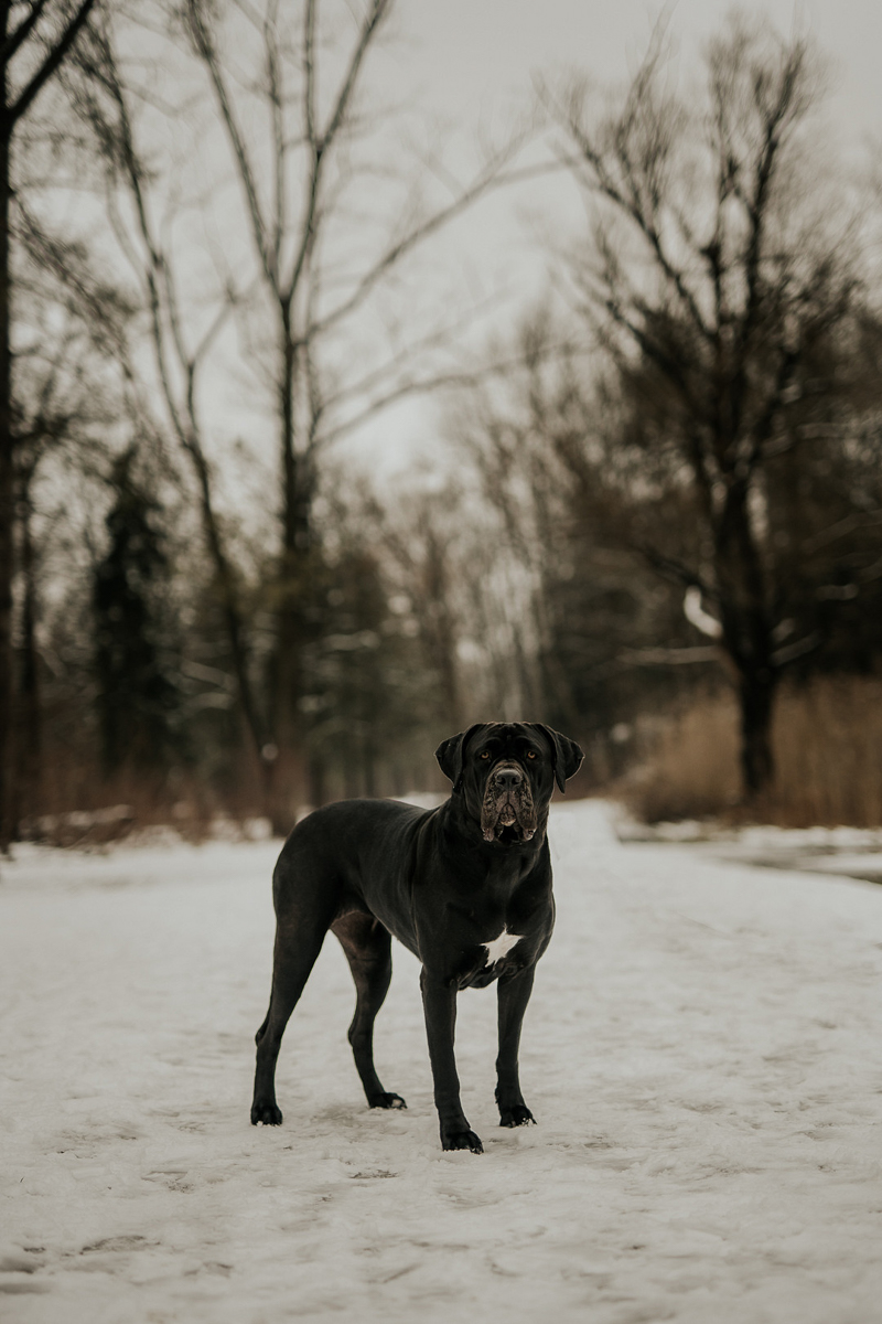 lovely black Cane Corso with natural ears, lifestyle dog photography ideas | ©Tomo.photography | London, Ontario