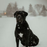 Happy Tails:  Arah the Cane Corso | London, ON
