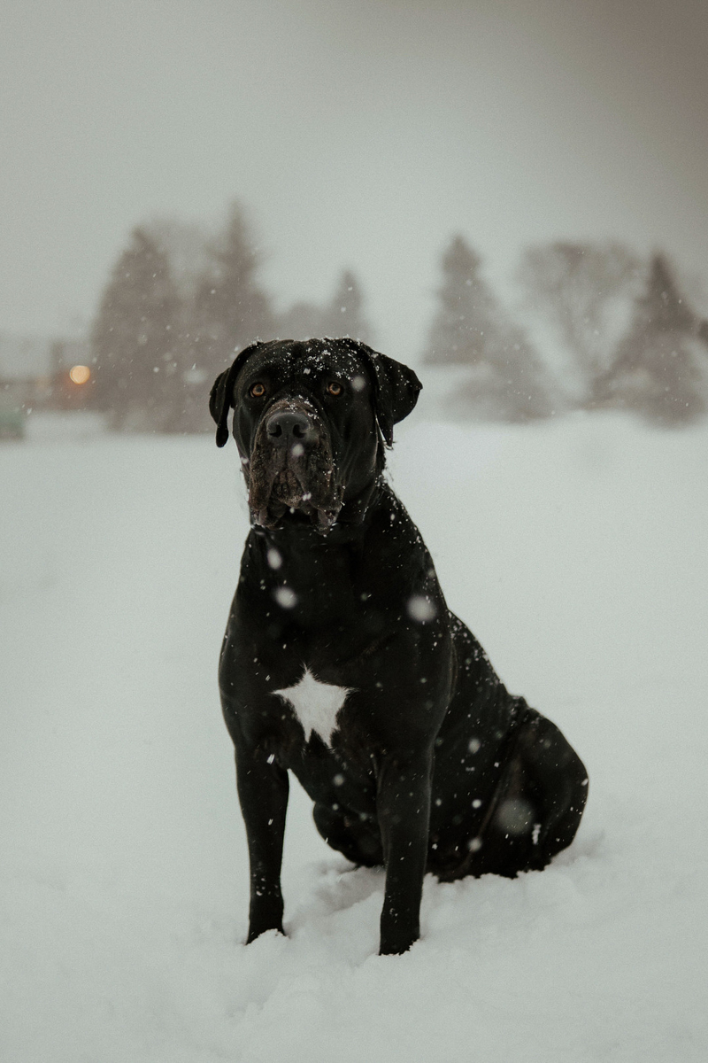 black Cane Corso with uncropped ears sitting in snow | ©Tomo.photography | London, Ontario