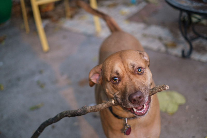 brown mixed breed dog with stick, dog photography   © Hallie Sigwing Photography