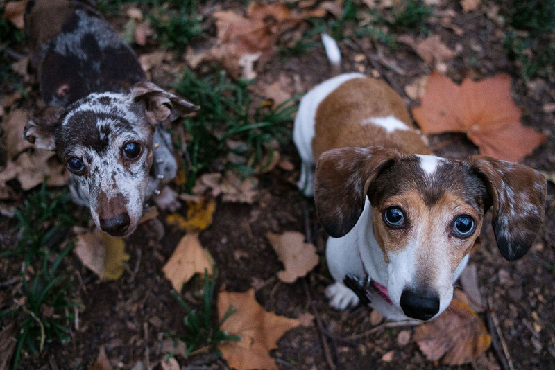 two dachshunds standing on grass and fall leaves   © Hallie Sigwing Photography, Denton, Texas