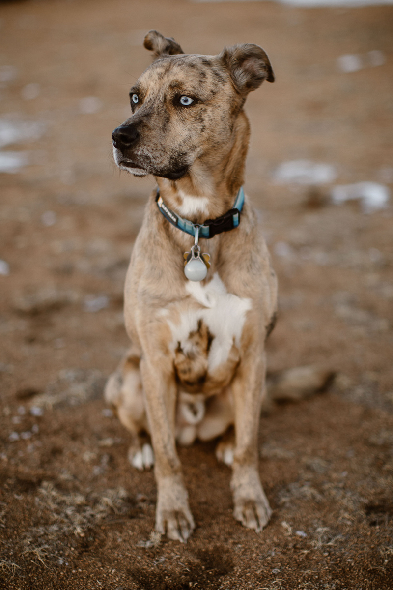 handsome Catahoula Leopard Dog with blue eyes | ©In Love And Adventure - Elopement Photography
