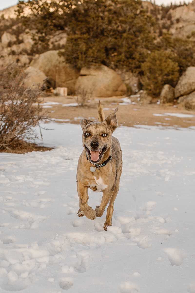 Catahoula Leopard Dog running in snow, Buena Vista, CO | ©In Love And Adventure - Elopement Photography