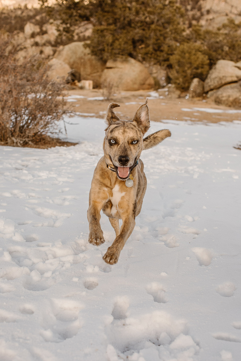 dog running in the snow, ©In Love And Adventure - Elopement Photography CO