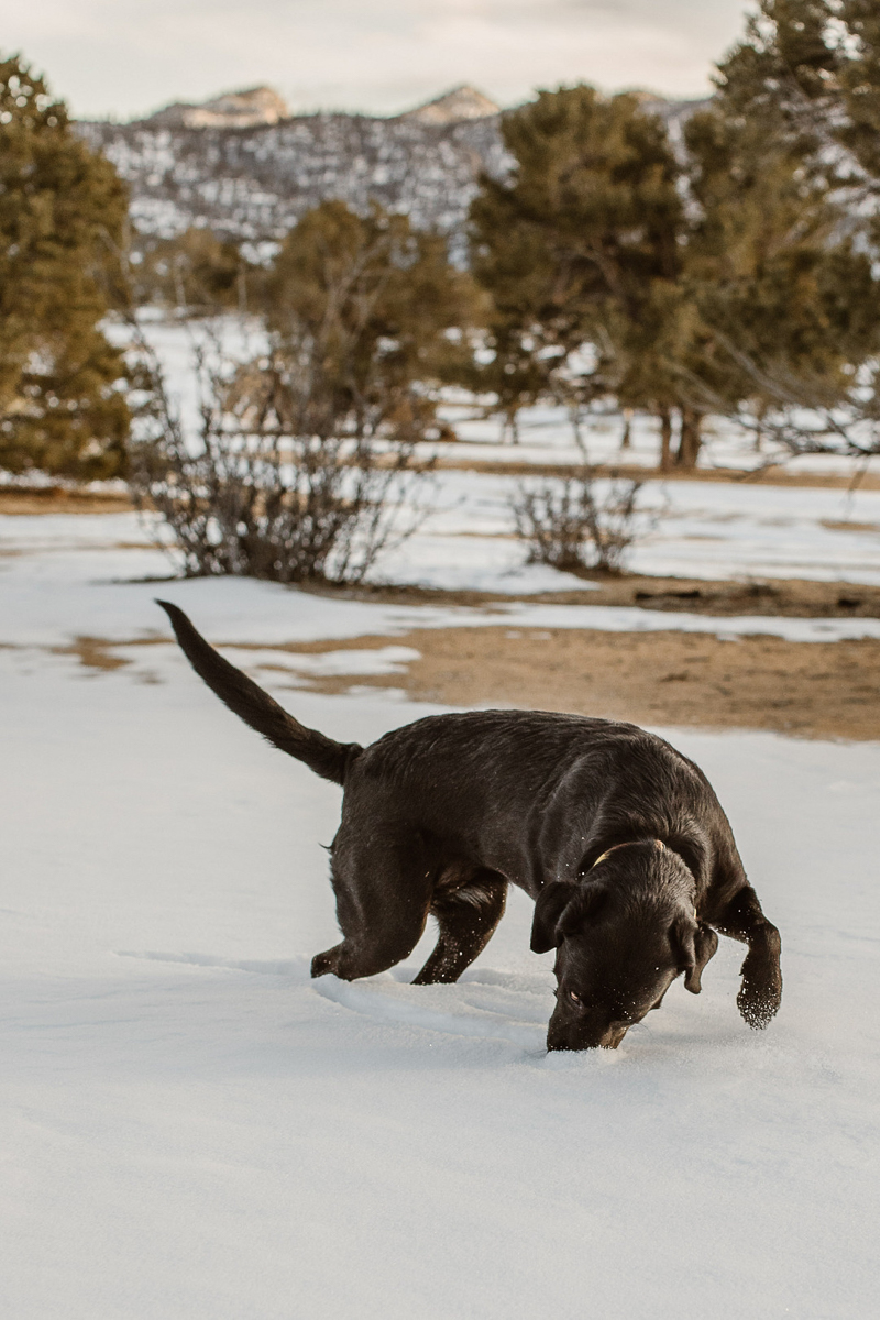 Black Lab mix sniffing the snow, adventure dog, ©In Love And Adventure - Elopement Photography