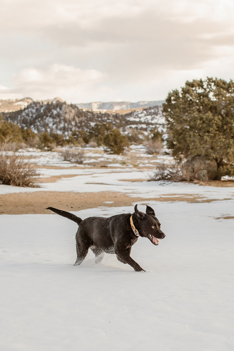 Black Lab mix running through the snow | Buena Vista, Colorado | ©In Love And Adventure - Elopement Photography