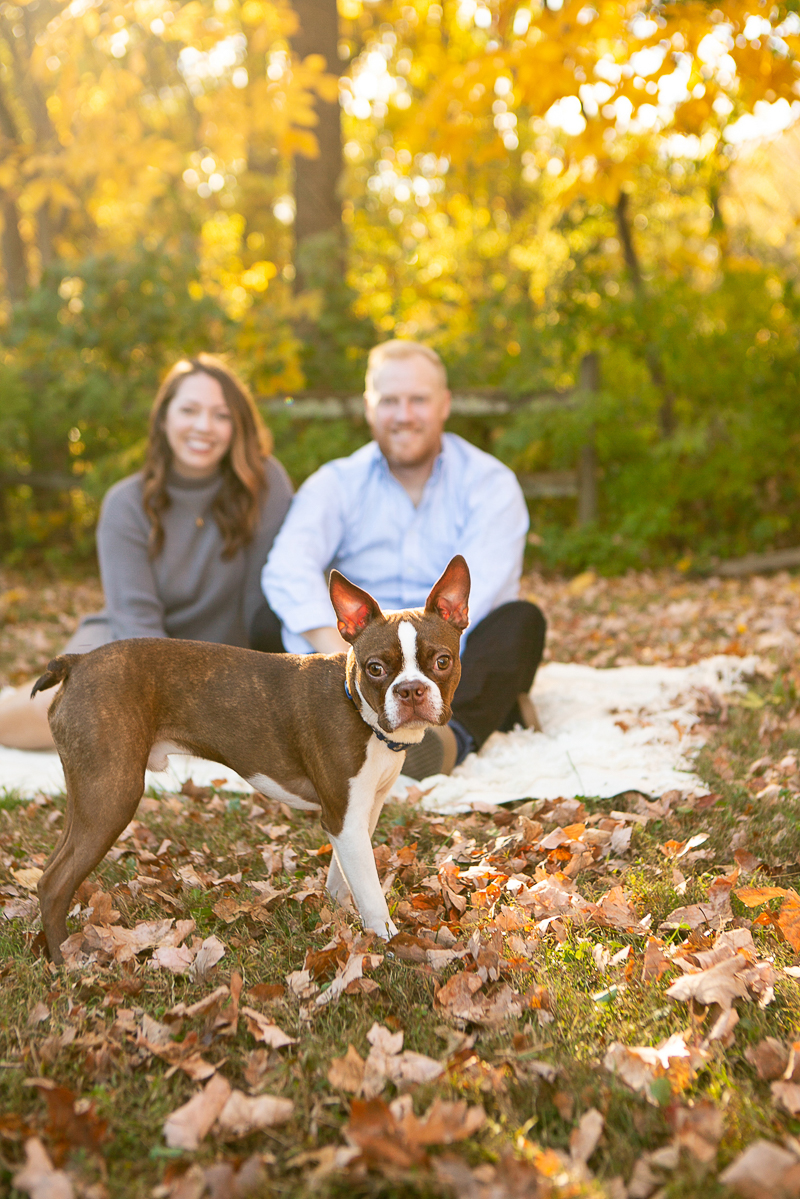 Boston Terrier standing in front of couple on blanket, fall dog photography ideas   ©Mandy Whitley Photography, Nashville, TN