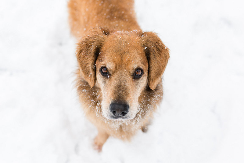 Mixed breed standing in the snow | ©Megan Rei Photography | Northern Virginia dog portraits