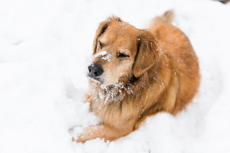mixed breed (Golden Retriever, Akita, Husky and more) lying in the snow, ©Megan Rei Photography | dog-friendly family portraits