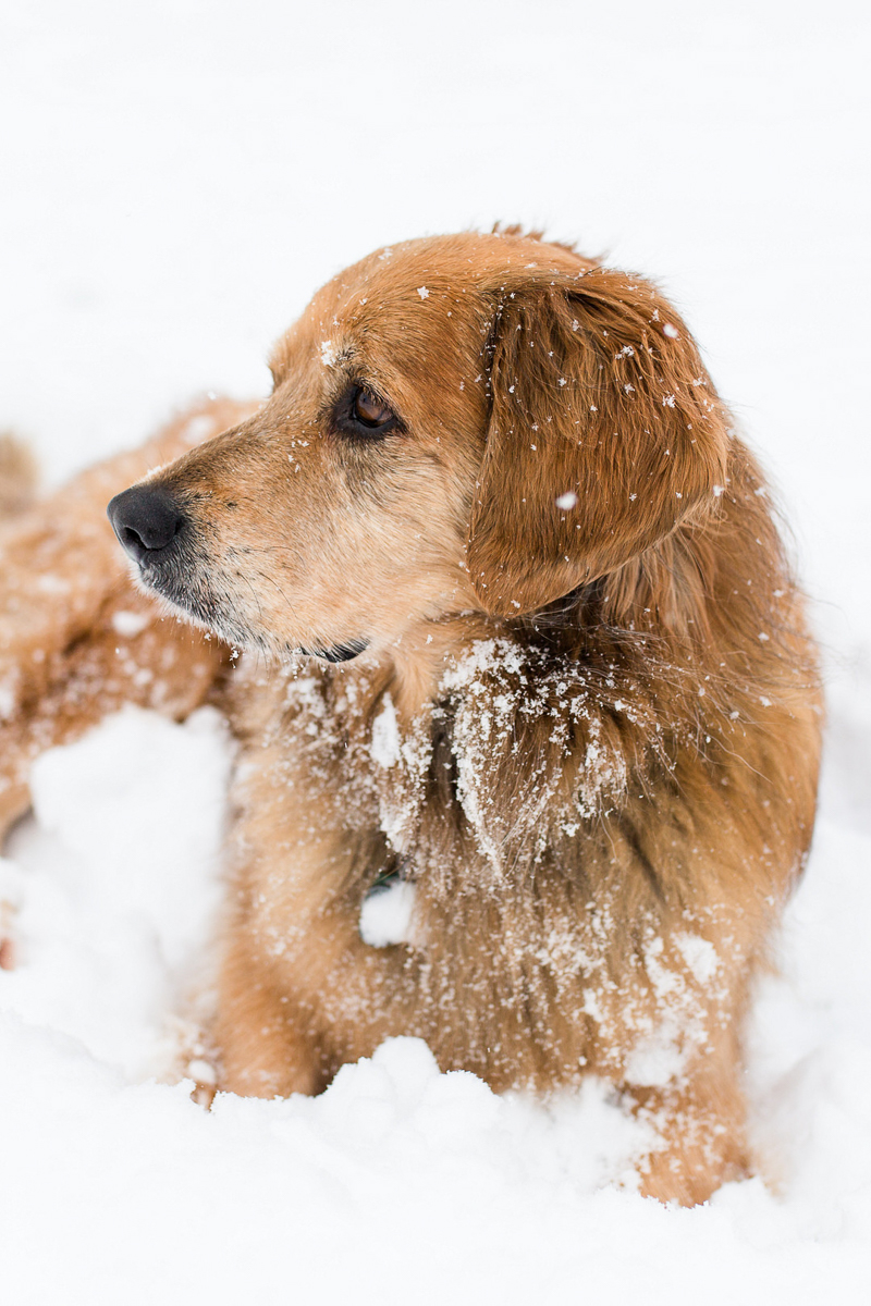 Golden mixed breed lying in the snow, lifestyle winter dog photography, ©Megan Rei Photography | Northern Virginia dog photographer