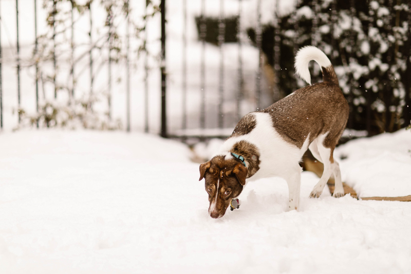 dog tentatively sniffing first snow | ©Sheena Shahangian Photography