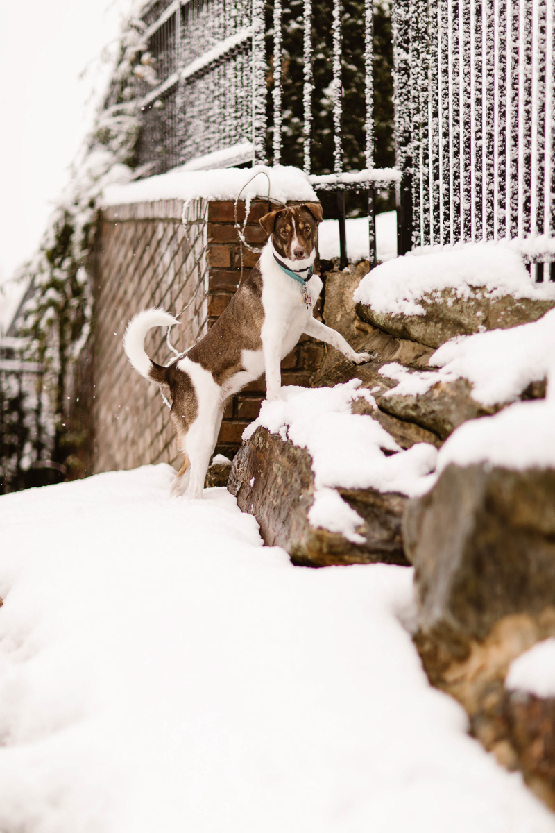 Jack Russell/Aussie shepherd mix in the snow, lifestyle dog photography | ©Sheena Shahangian Photography