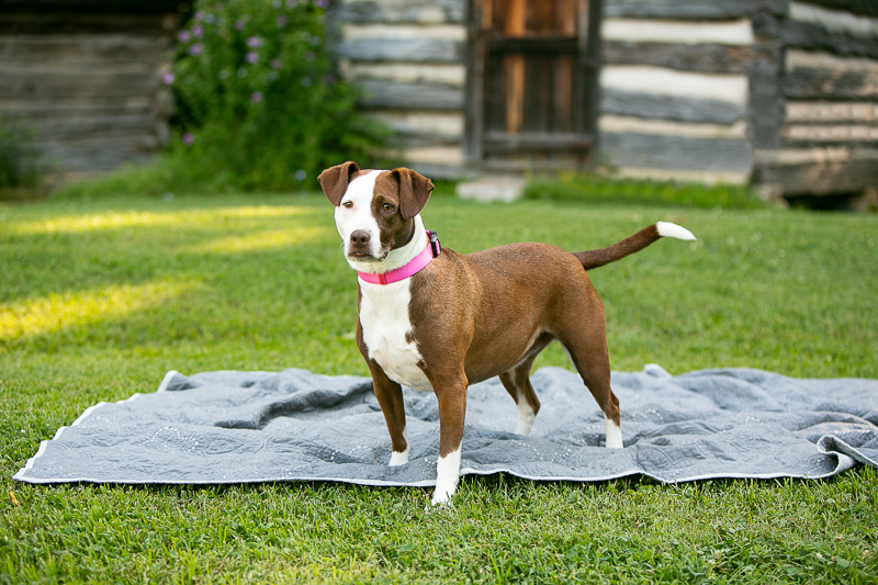 brown and white mixed breed dog standing on quilt, ©Mandy Whitley Photography, Ellington Agriculture Center, Nashville, TN