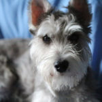 Happy Tails:  Bear the Miniature Schnauzer | Brooklyn, NY
