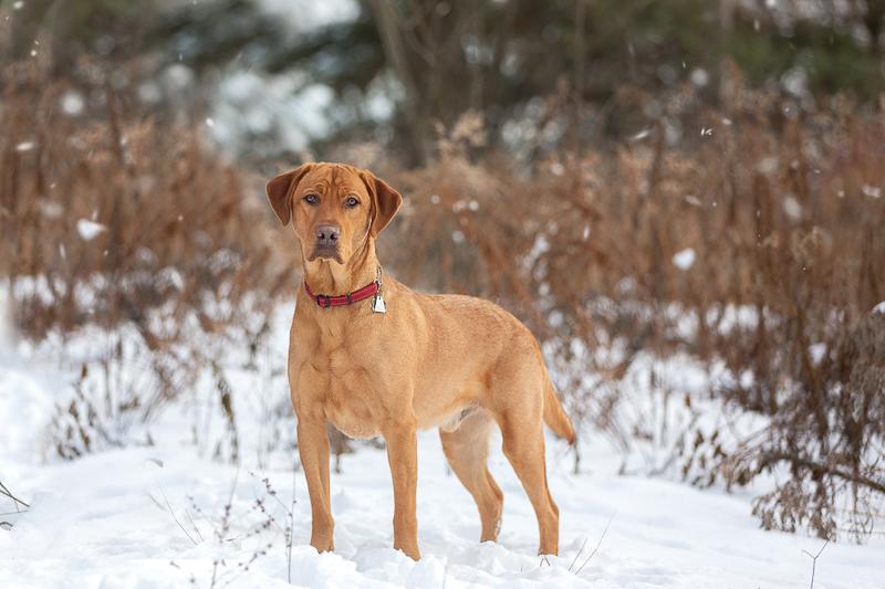 handsome golden Lab mix standing in the snow | ©Terri J Photography, Toronto, Ontario
