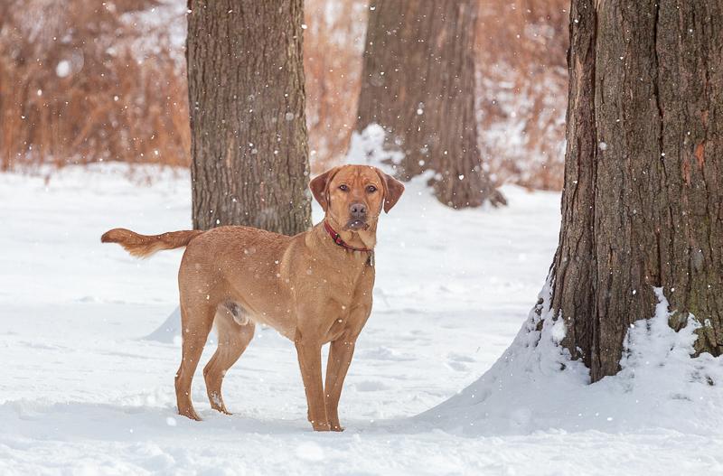 Lab mix standing next to big tree, snowy dog portrait session | ©Terri J Photography, Toronto, Ontario