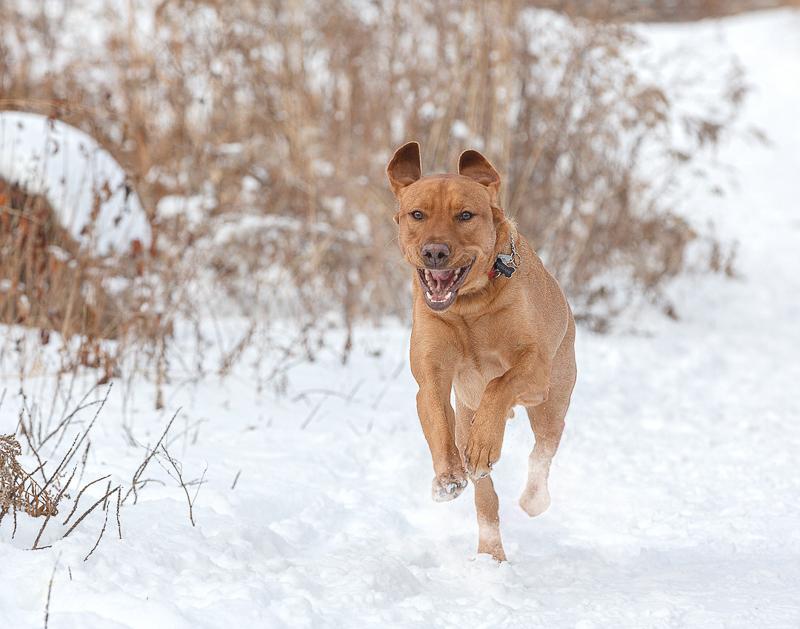 handsome Lab mix running through the snow, snowy dog portraits | ©Terri J Photography