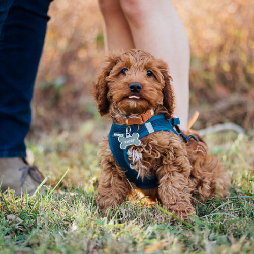Fall Engagement Portraits with a Puppy | Nashville, TN