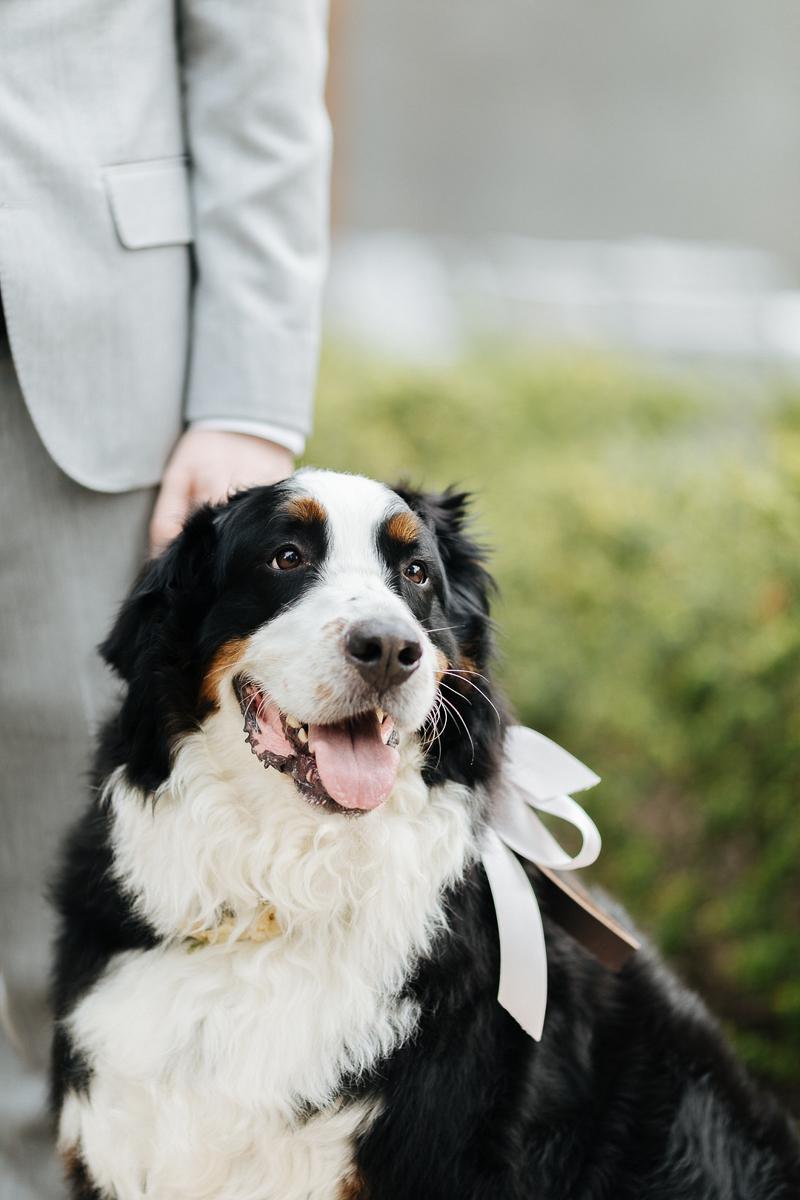 wedding dog, Bernese Mountain Dog wearing bow, ©J Tobiason Photography, Novelty Hill-Januik Winery, Woodinville, WA