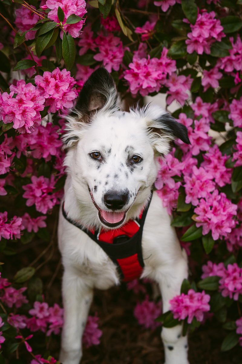 cute black and white puppy sitting in front of pink azaleas, ©Kelly Carmody Photography, Cathedral Park, Portland, Oregon