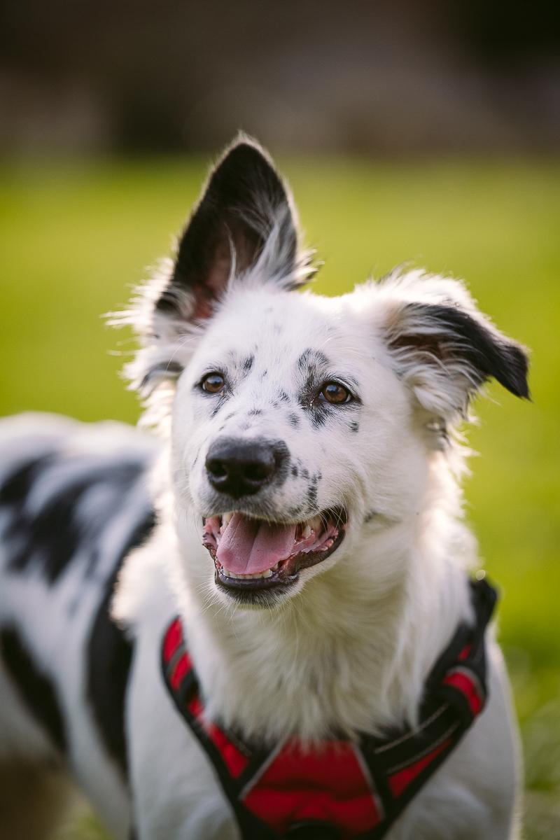 adorable floppy eared puppy, Heeler mix, ©Kelly Carmody Photography