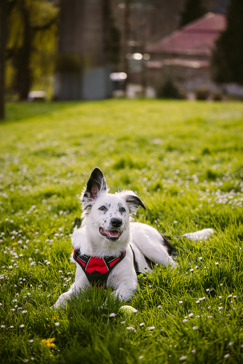 adorable Border Collie mix in the grass, dog photography ideas   ©Kelly Carmody Photography