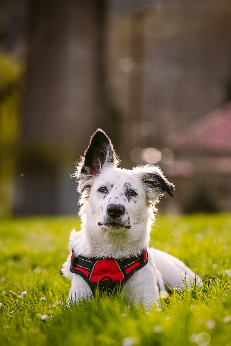 Border Collie/Heeler mix puppy, one ear up, ©Kelly Carmody Photography, OR pet photographer