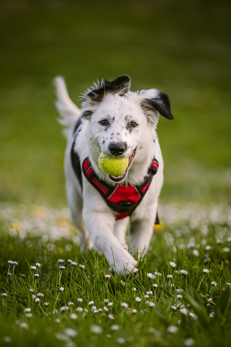 floppy eared 6 month old puppy running in the grass with ball, ©Kelly Carmody Photography, Portland, Oregon
