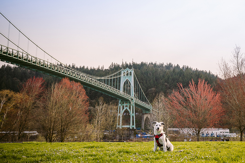 spring dog photography session, Cathedral Park ©Kelly Carmody Photography, Portland, Oregon
