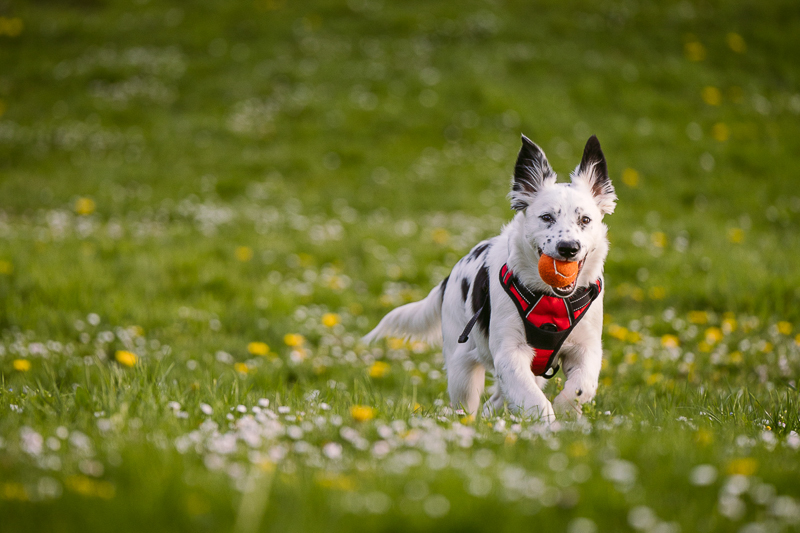 Border Collie/Heeler mix puppy running with ball in mouth   ©Kelly Carmody Photography, Portland, Oregon