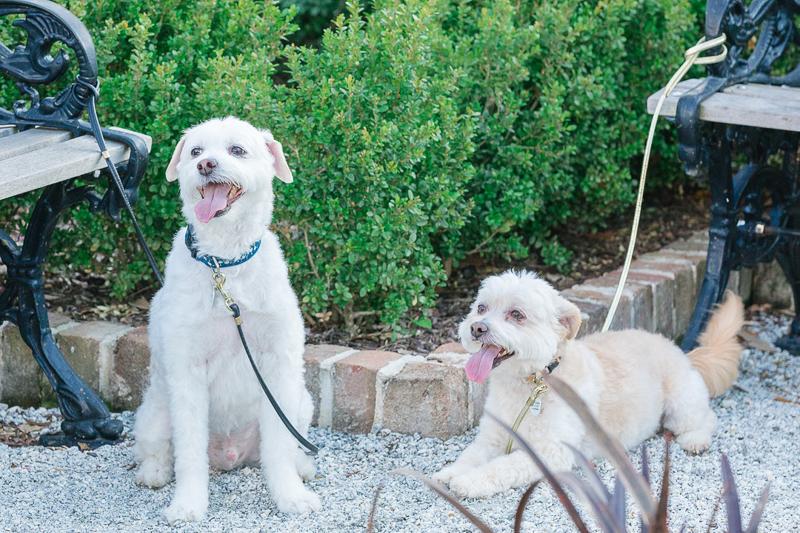 cute Maltese/Terrier mixes in the park, ©Charleston Photo Art,