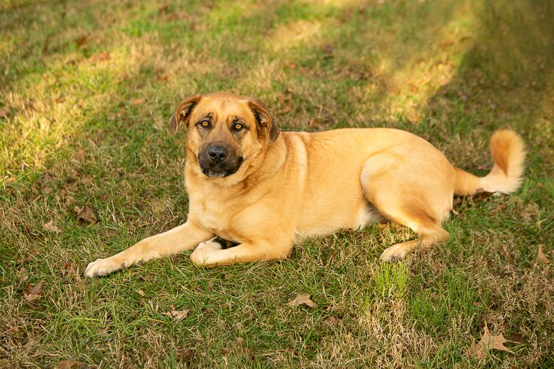handsome Mastiff mix, ©Mandy Whitley Photography, Nashville dog photographer