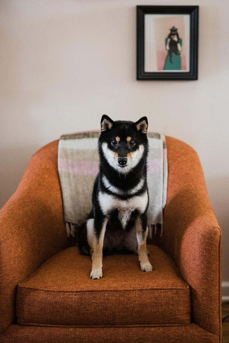 adorable Shiba Inu sitting in chair, lifestyle pet photography   ©Here Today Photography