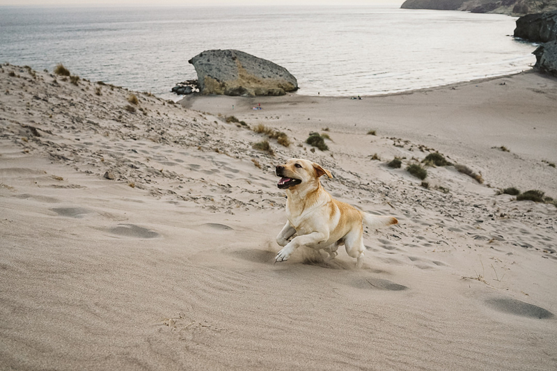 happy dog running up the dunes, lifestyle photography with dog | Cabo de Gata, Spain |©Blancorazon Weddings